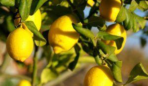 citroenvruchten hangend aan boom