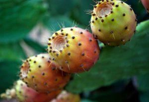 close up van een vijgcactus plant