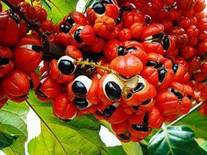 vruchten zichtbaar van de Guarana klimplant