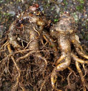 rhizomes de rhodiola