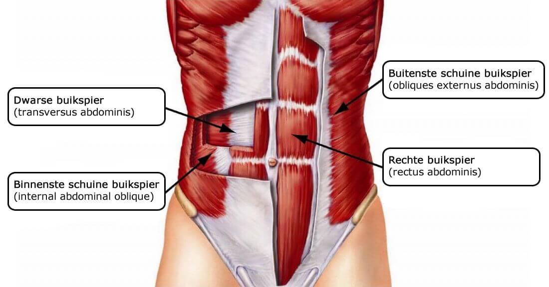 buikspieren anatomie