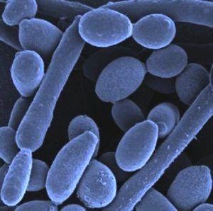 Candida Albicans schimmel onder microscoop