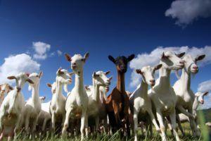 tientallen geiten lopen op het weiland en hemelblauwe lucht