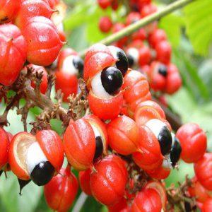 guarana planten