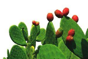 litramine-cactus