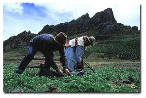 maca-oogst