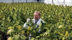 Man checkt de toppen van een veld vol cannabisplanten