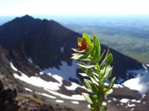 La rhodiola pousse dans les zones montagneuses