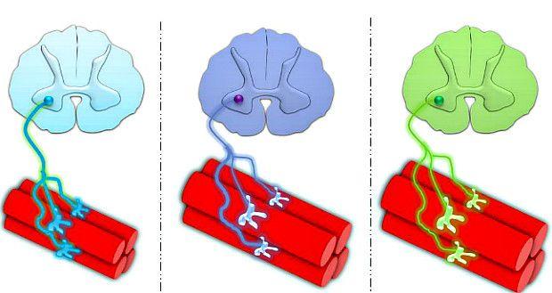 Idée reçue nº3   Les fessiers sont constitués de fibres musculaires à  contraction rapide 5049d2bced0